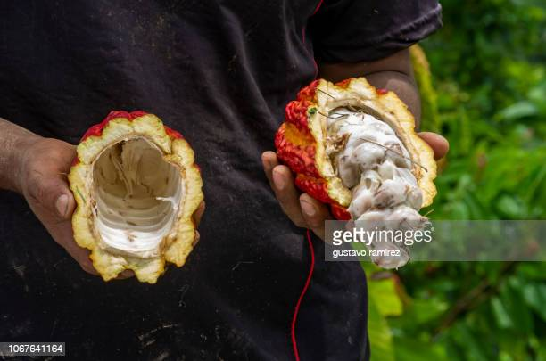 fresh red cocoa fruits - iquitos stock pictures, royalty-free photos & images