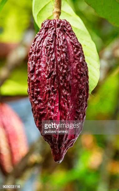 fresh red cocoa fruits - theobroma stock-fotos und bilder