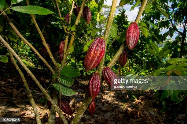 fresh red cocoa fruits - tropische frucht stock-fotos und bilder