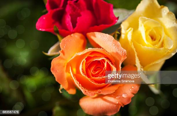 Fresh red, orange and yellow roses flowers