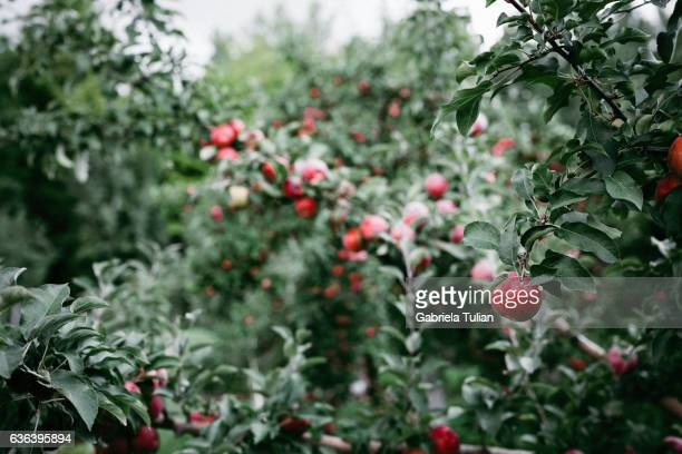 Fresh, red, organic apple on the tree