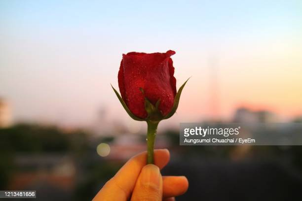 fresh red rose with water drops in summer evening. flower and valentine's day concept. - aungsumol stock pictures, royalty-free photos & images