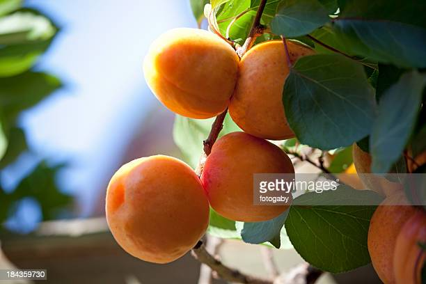 fresh ripe apricots - apricot tree stock pictures, royalty-free photos & images