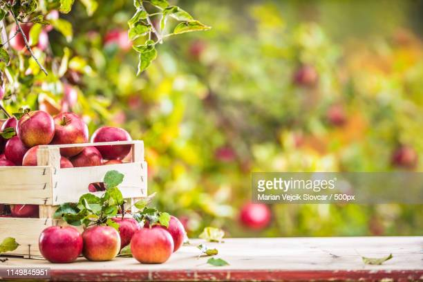 fresh ripe red apples in wooden crate on garden table - harvest table stock pictures, royalty-free photos & images