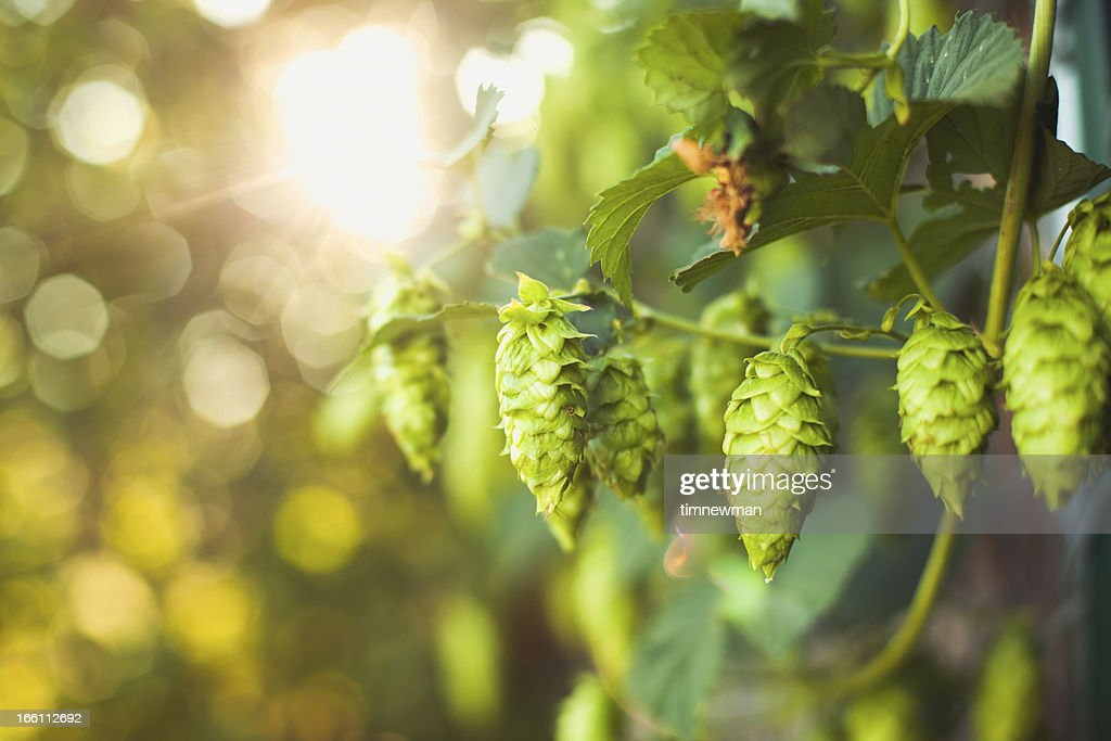 Fresh Ripe Summer Grown Hops for Beer Home Brewing : Stock Photo