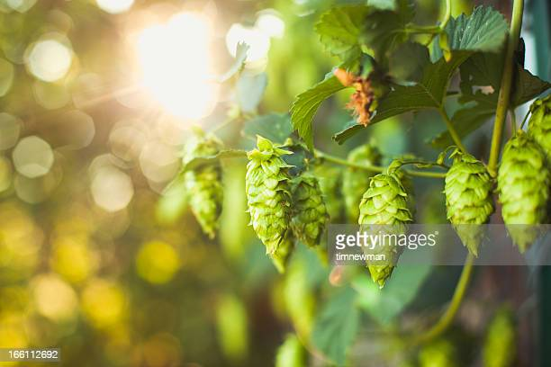 fresh ripe summer grown hops for beer home brewing - crop plant stock photos and pictures