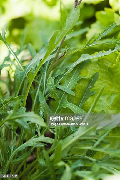 Fresh rocket in vegetable bed