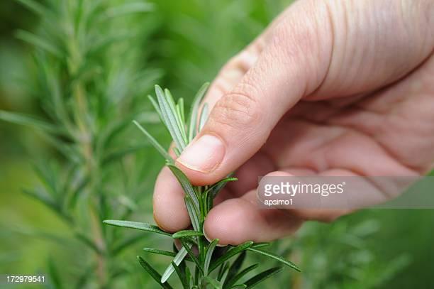 rosmarino fresco - erbe aromatiche foto e immagini stock