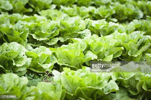 Salade fraîche en ligne