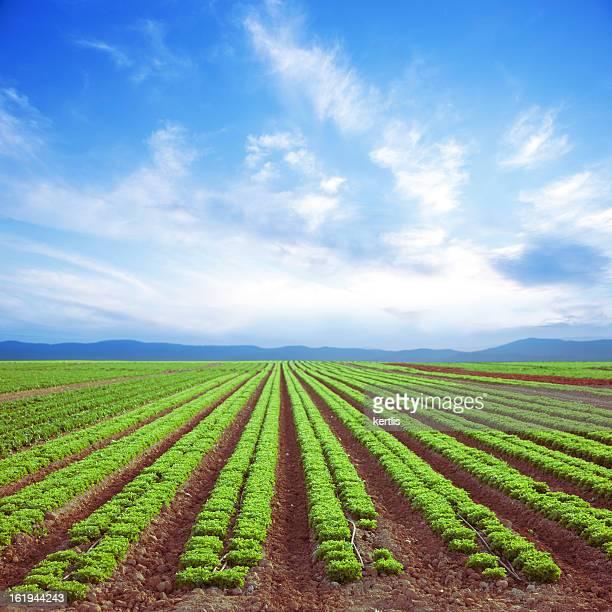 Campo Salada fresca (verde)