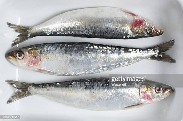 Fresh Sardines, elevated view