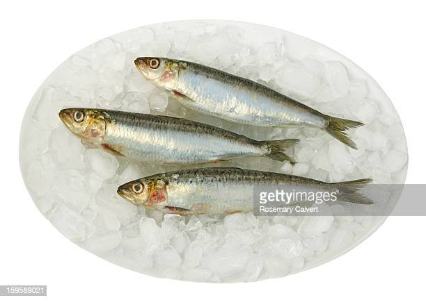 Fresh sardines on plate covered with ice.