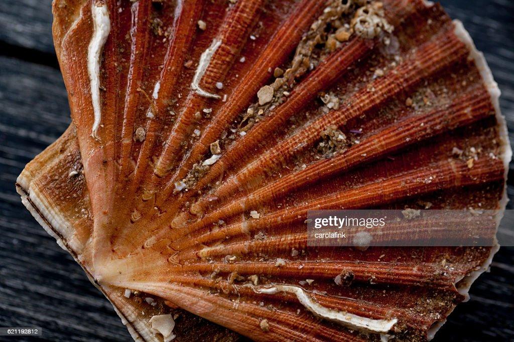 Fresh scallop : Stock-Foto
