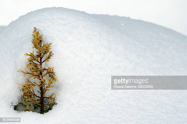 Fresh snow and young plant