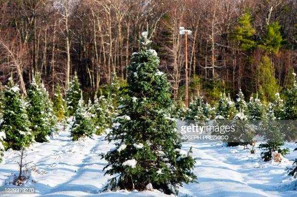 Fresh snow from a winter storm covers hundreds of sapling and growing fir trees that line a field at Harrod Tree Farm in Shirley, Massachusetts on...