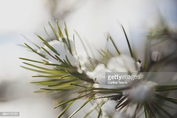 Fresh snow on pine needles