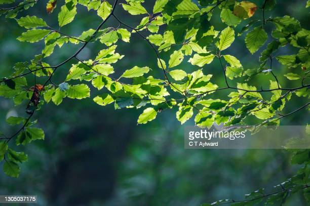 fresh spring beech leaves cathcing the light - 2015 stock pictures, royalty-free photos & images
