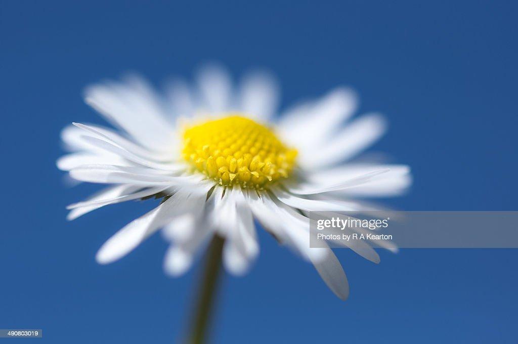 Fresh spring daisy : Stock Photo
