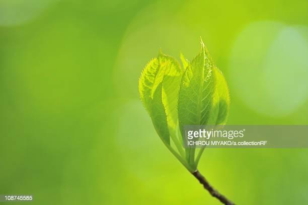fresh sprouting leaf - 鳥取県 無人 ストックフォトと画像