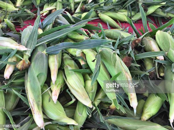 Fresh sweet corn at a farm in Markham Ontario Canada on September 02 2019