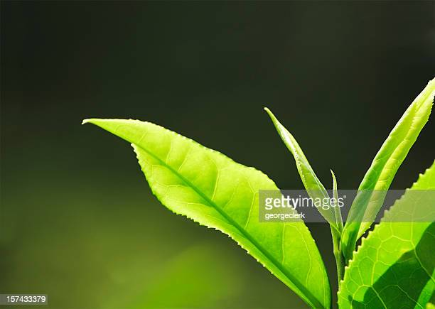 fresh tea growth macro - tea leaves stock photos and pictures