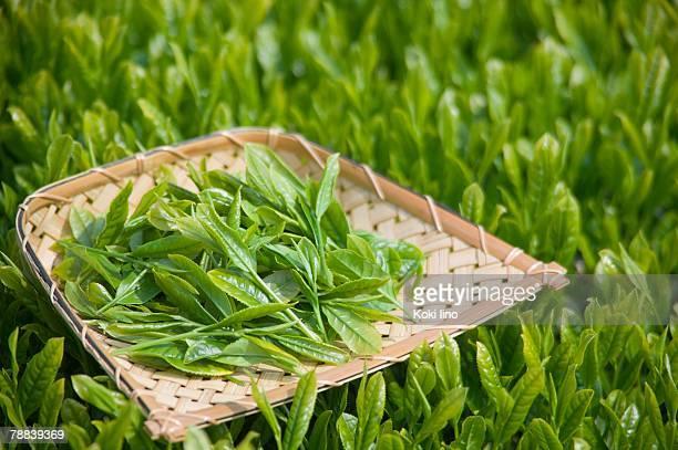 Fresh tea leaves on tray