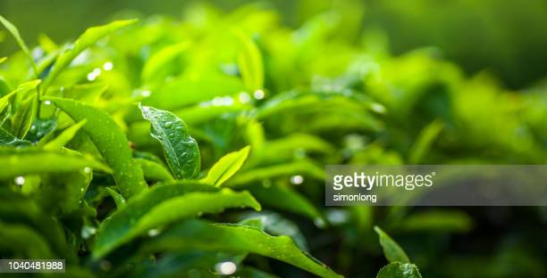 fresh tea leaves - camellia sinensis stock photos and pictures