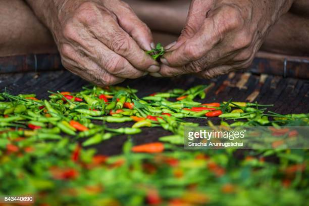 Fresh Thai chilli peppers being picked by hands