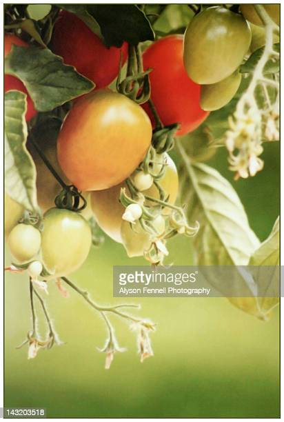 fresh tomatoes - alyson fennell stock pictures, royalty-free photos & images