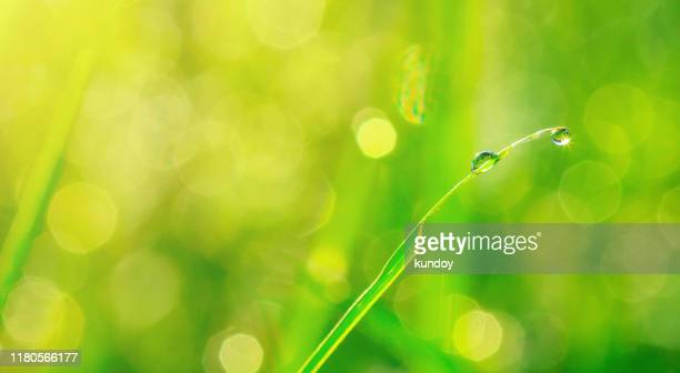 fresh water drop on green grass field. nature background. - dew stock pictures, royalty-free photos & images