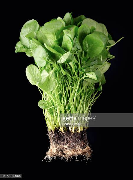 "fresh watercress with roots - ""shana novak"" stock pictures, royalty-free photos & images"