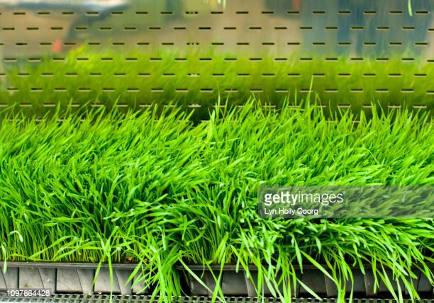 fresh wheatgrass - lyn holly coorg stock pictures, royalty-free photos & images