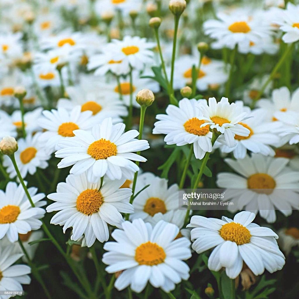 Fresh White Daisy Flowers Blooming In Field Stock Photo Getty Images