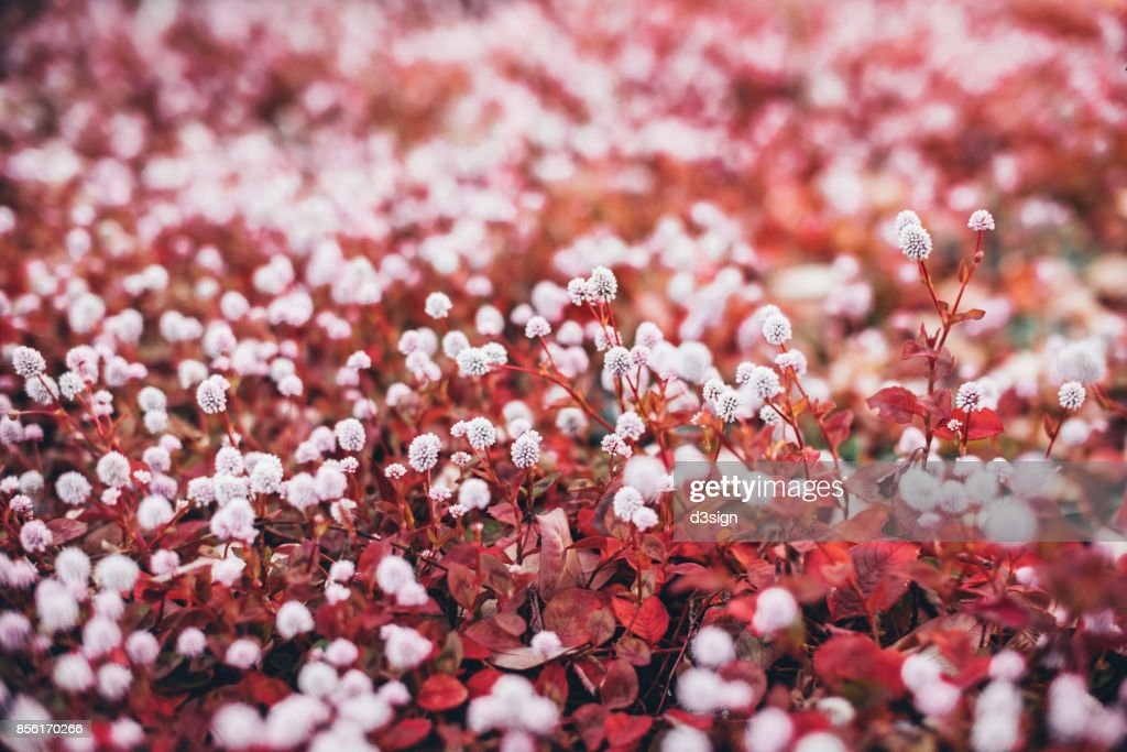 Fresh white flowers with red leaves blooming beautifully in field fresh white flowers with red leaves blooming beautifully in field stock photo mightylinksfo