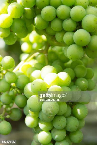 fresh white grapes - grape leaf stock pictures, royalty-free photos & images