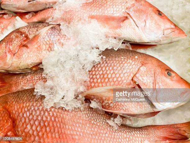 fresh whole red snapper fish - catch of fish stock pictures, royalty-free photos & images