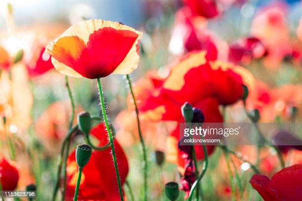 fresh wild poppies growing in the meadow - remembrance day stock pictures, royalty-free photos & images