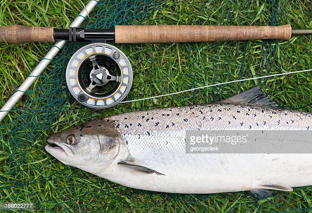 fresh wild salmon catch - animals in the wild stock pictures, royalty-free photos & images