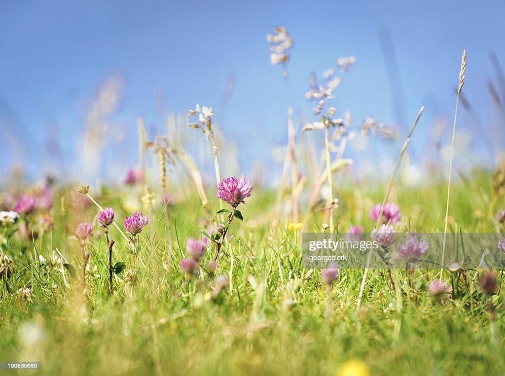 Fresh Wild Summer Meadow : Stock Photo
