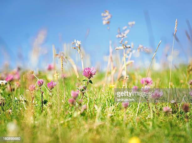 fresh wild summer meadow - uncultivated stock pictures, royalty-free photos & images