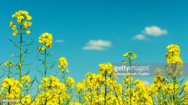 fresh yellow flowers blooming in field against blue sky - brassica stock photos and pictures