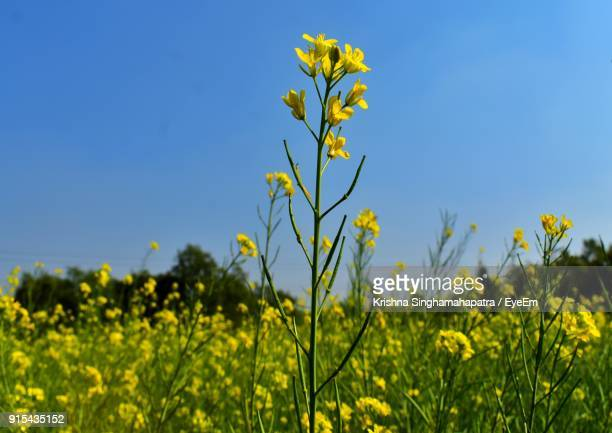 Fresh Yellow Flowers In Field Against Clear Blue Sky