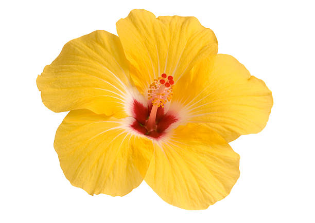 Free Hibiscus Flower Images, Pictures, And Royalty-Free