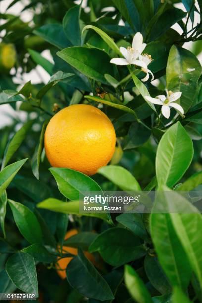 Fresh, yellow lemon growing on tree