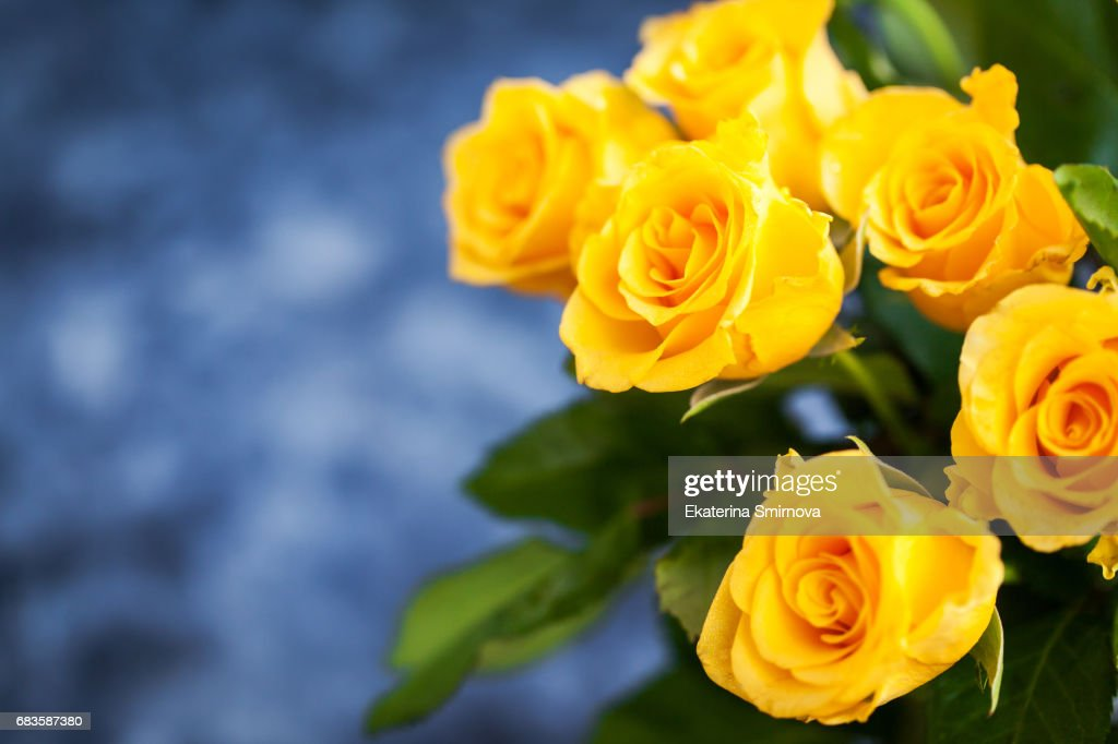 Fresh Yellow Roses Flowers On Blue Painted Wooden Background Stock