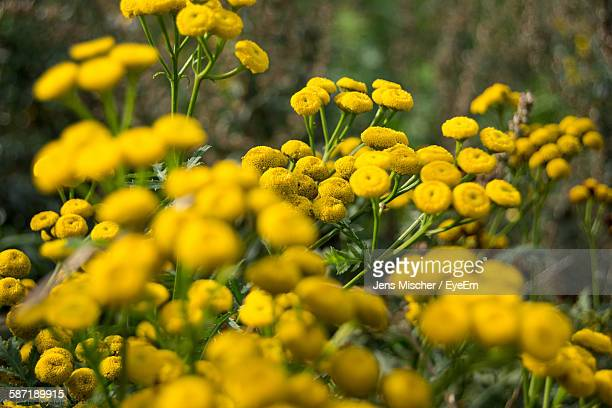 fresh yellow tansy flowers blooming in garden - tansy stock pictures, royalty-free photos & images