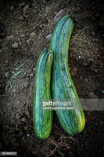 Fresh Zucchinis, Croatia, Slavonia, Europe