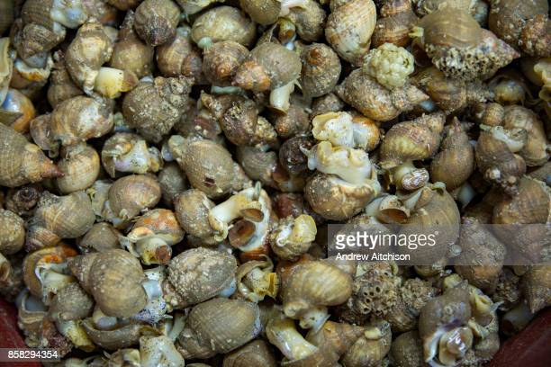 Freshly boiled Whelks ready to be shelled Folkestone Trawlers process manage and market all fresh fish that is landed into Folkestone Harbour by...