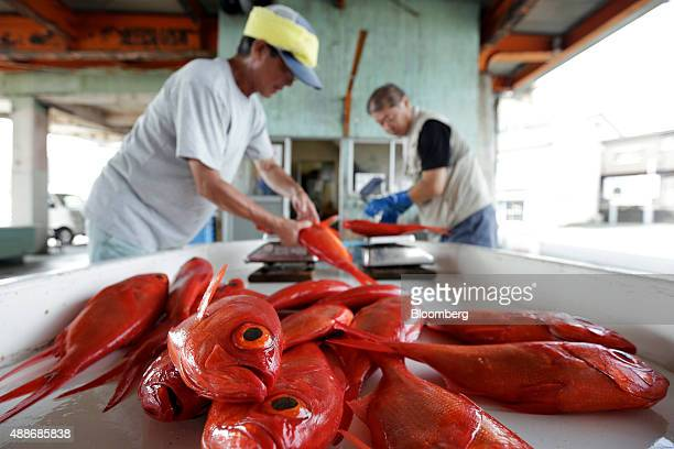 Freshly caught alfonsino fish sit on a workbench as a fisherman left and a member of the local fishing cooperative weigh others while sorting by size...