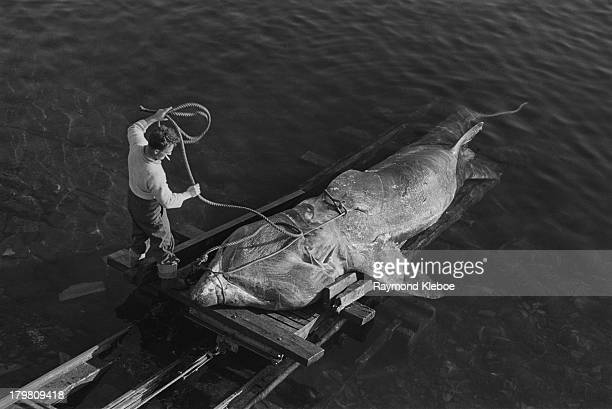 A freshly caught basking shark is transported to dry land in waters off the Western Hebrides Scotland ExScots Guard Major Gavin Maxwell purchased the...